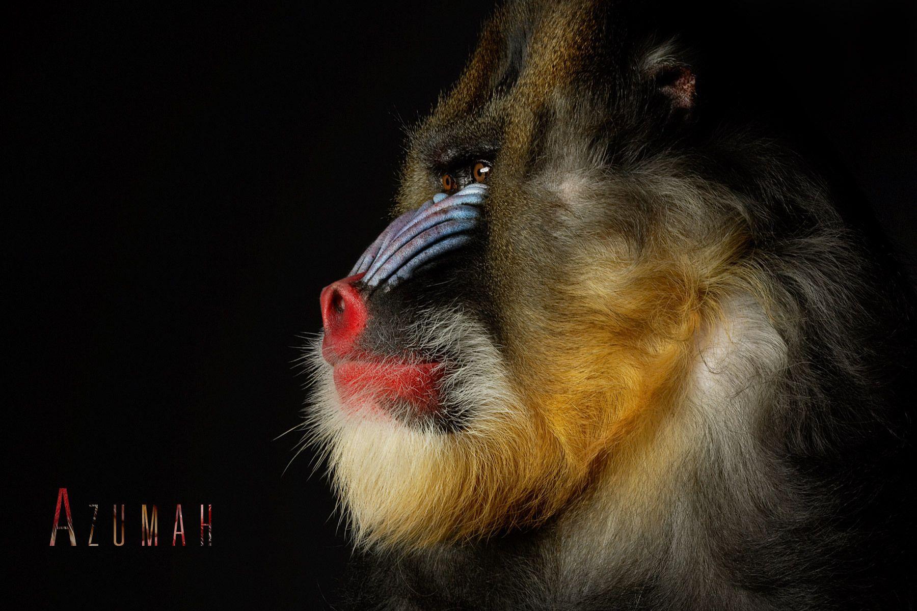 1beauty_mandrill_azumah_a.jpg