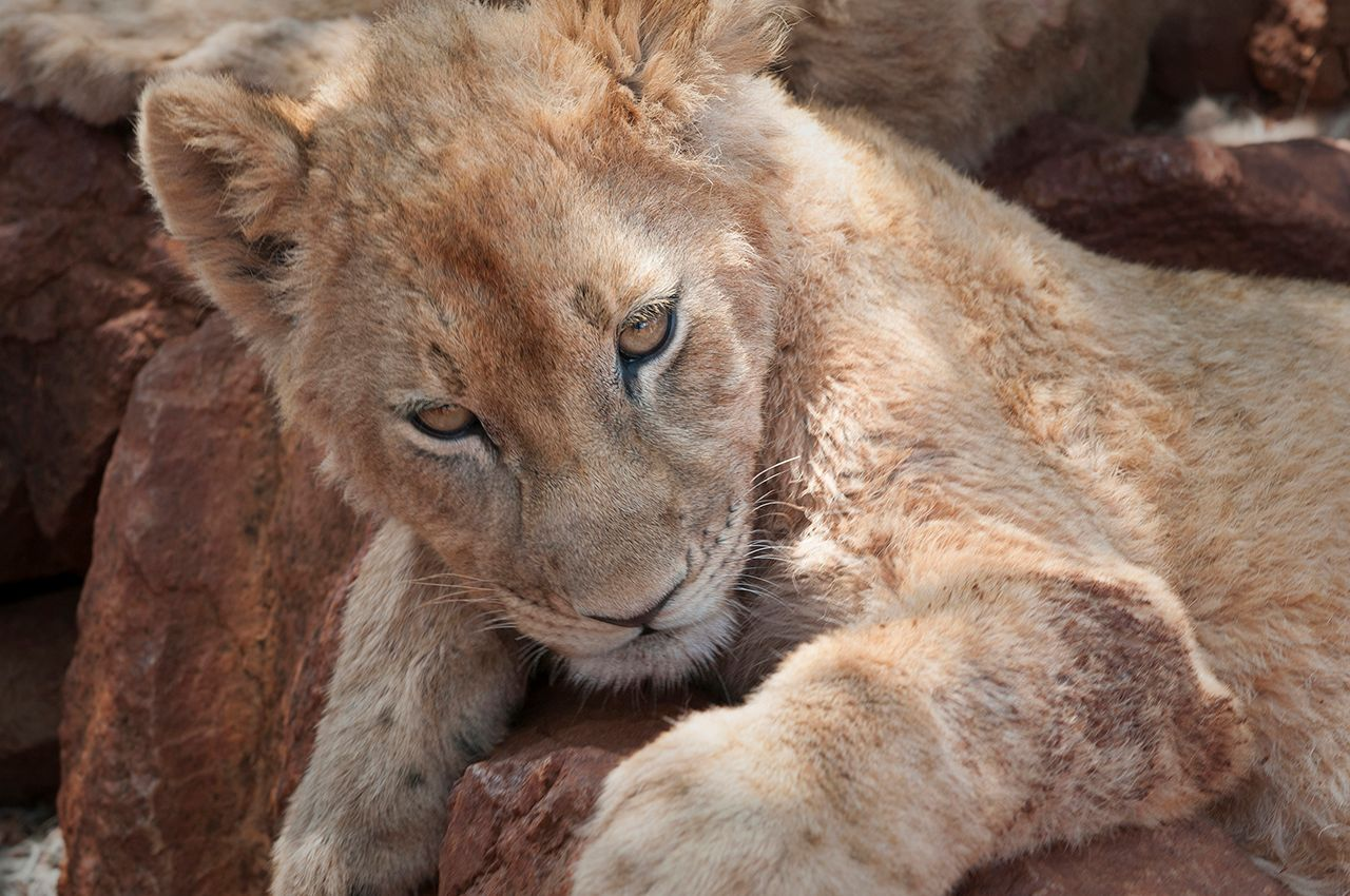Lion Cub South Africa.jpg