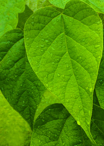 45_0_569_1green_leaf.jpg