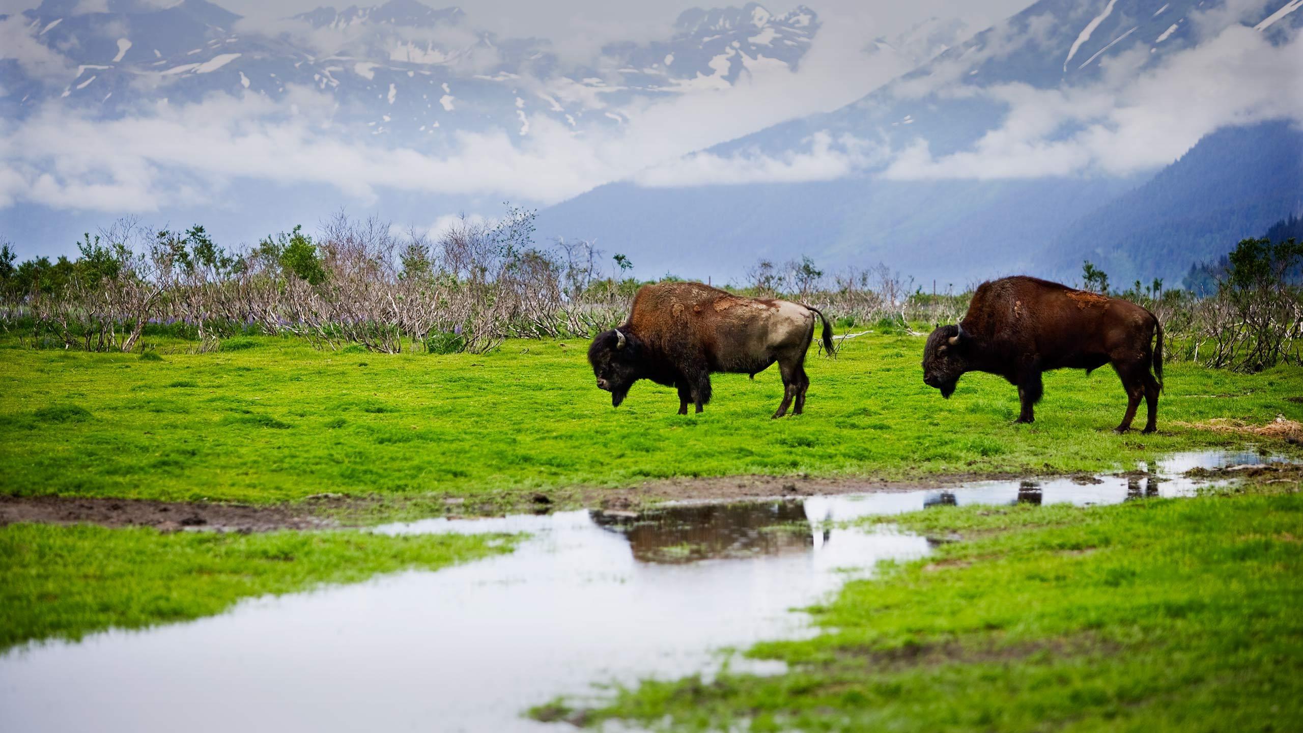 1alasak_bison1.jpg