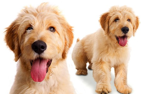labradoodle for american greetings