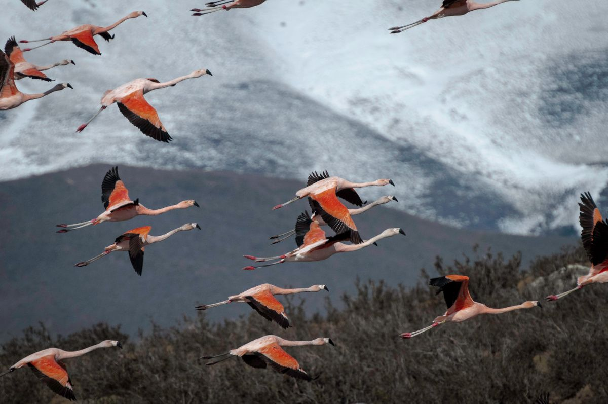 Flaminogos in flight Laguna Guanaco.jpg