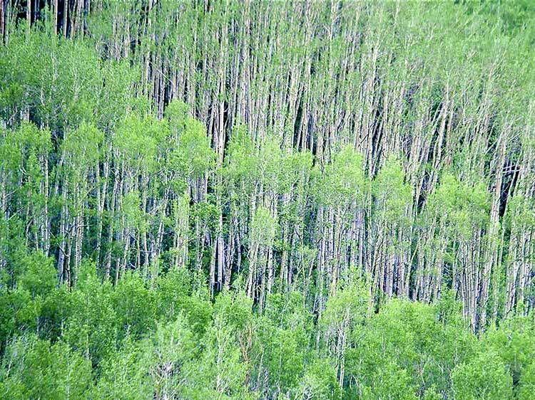 Aspen - White River National Forest, Colorado