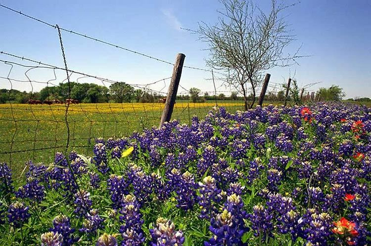 Barbed Wire & Bluebonnets - near Chappell Hill, Texas