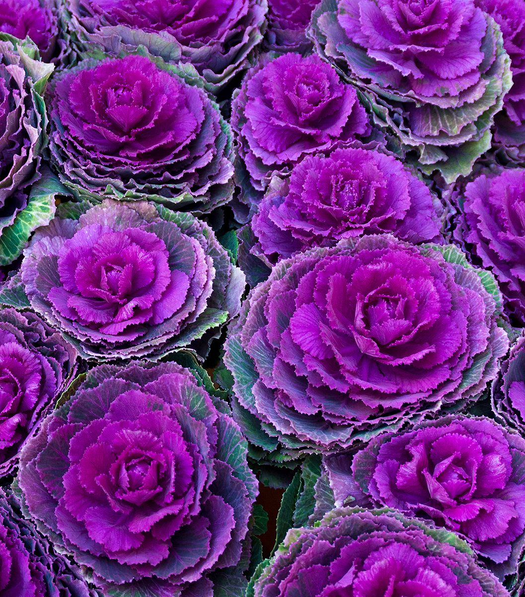 Amsterdam market with purple kale