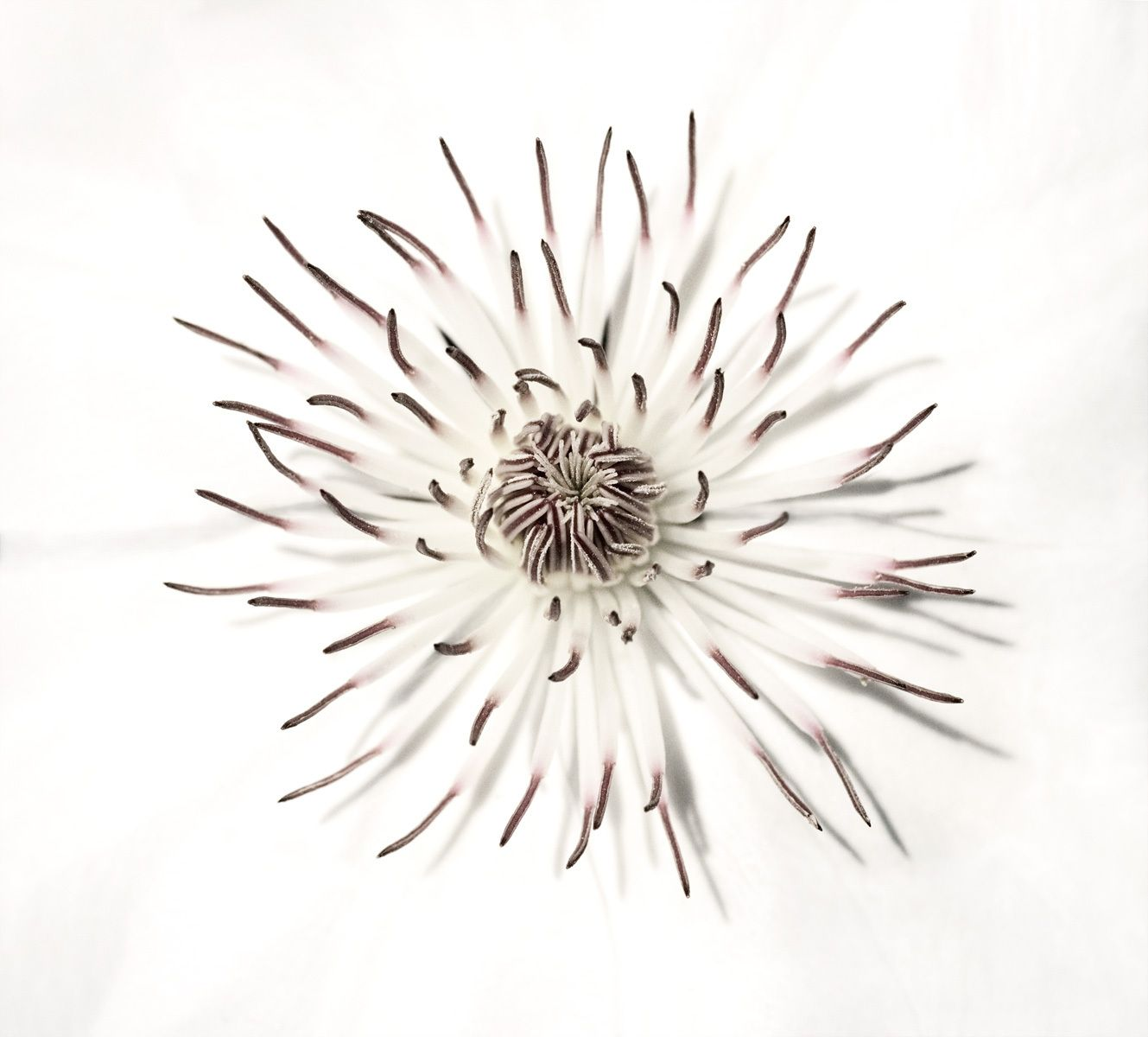 White clematis center photograph