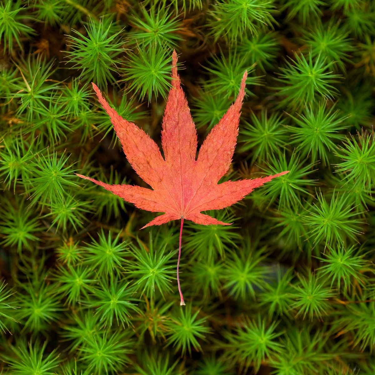Japanese maple leaf on green moss