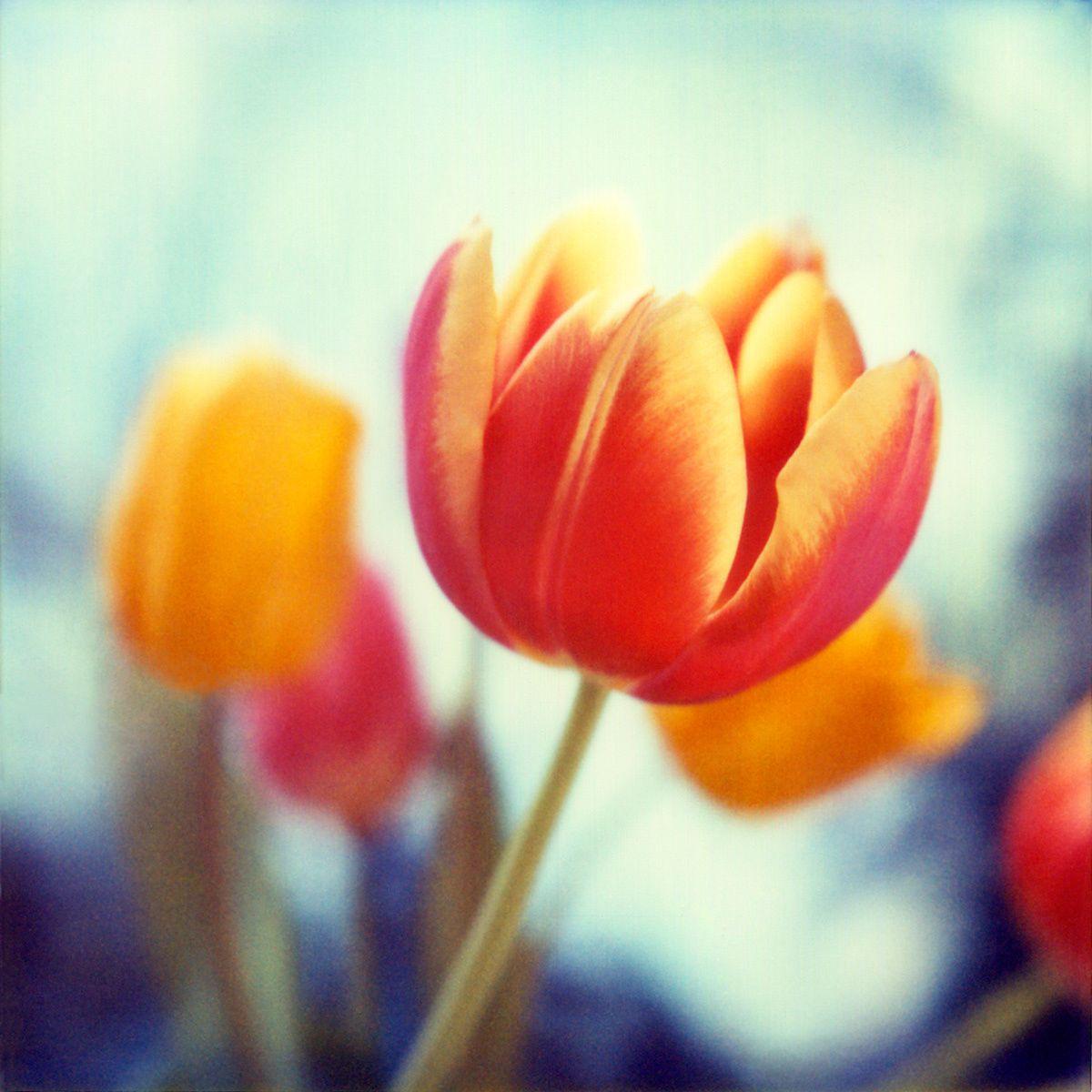 1new_tulip.jpg