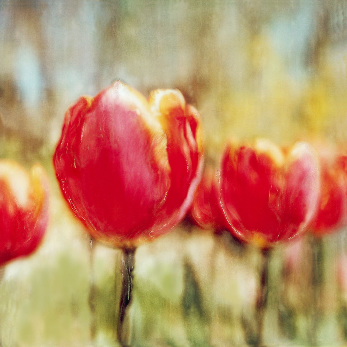 1red_tulips.jpg