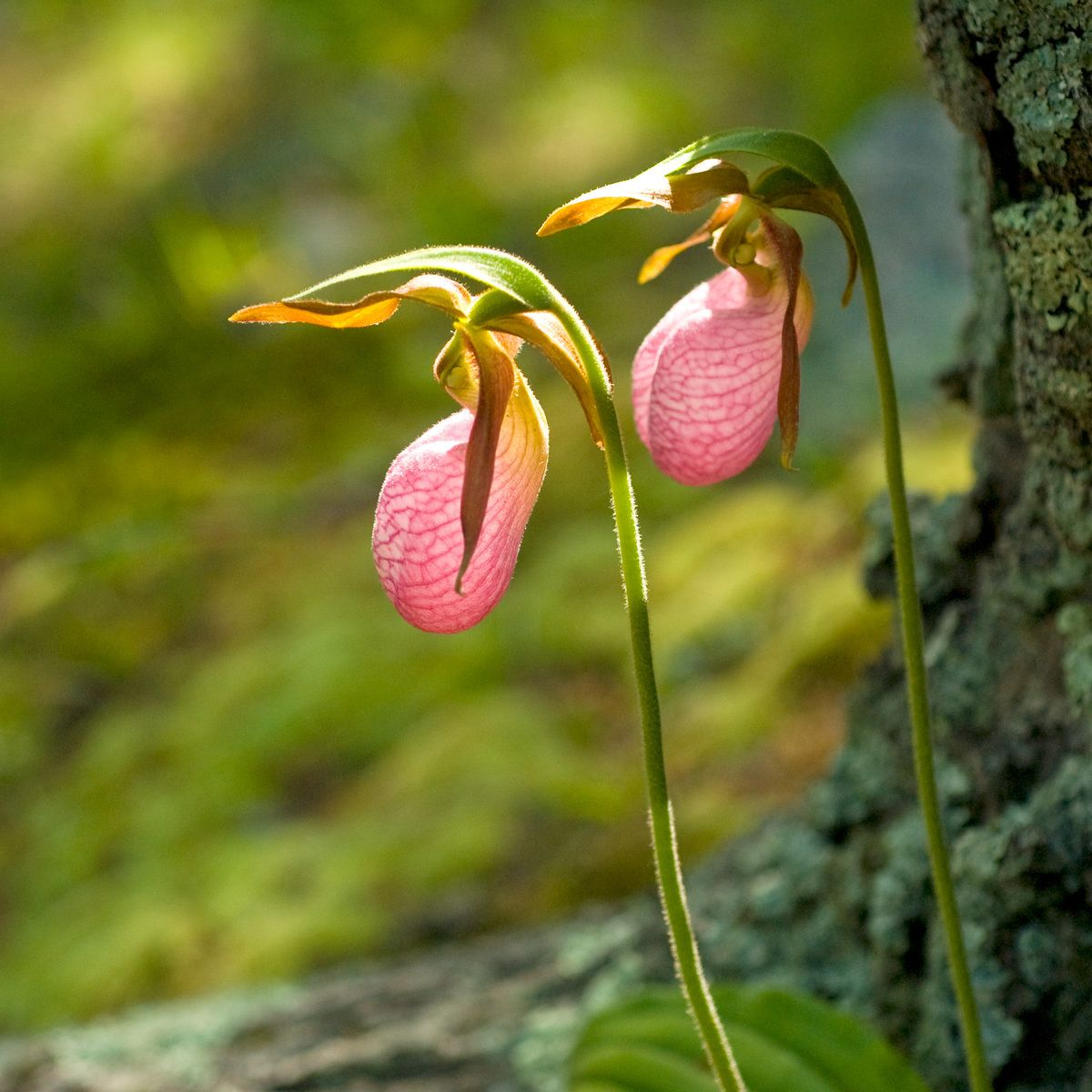 1lady_slipper.jpg
