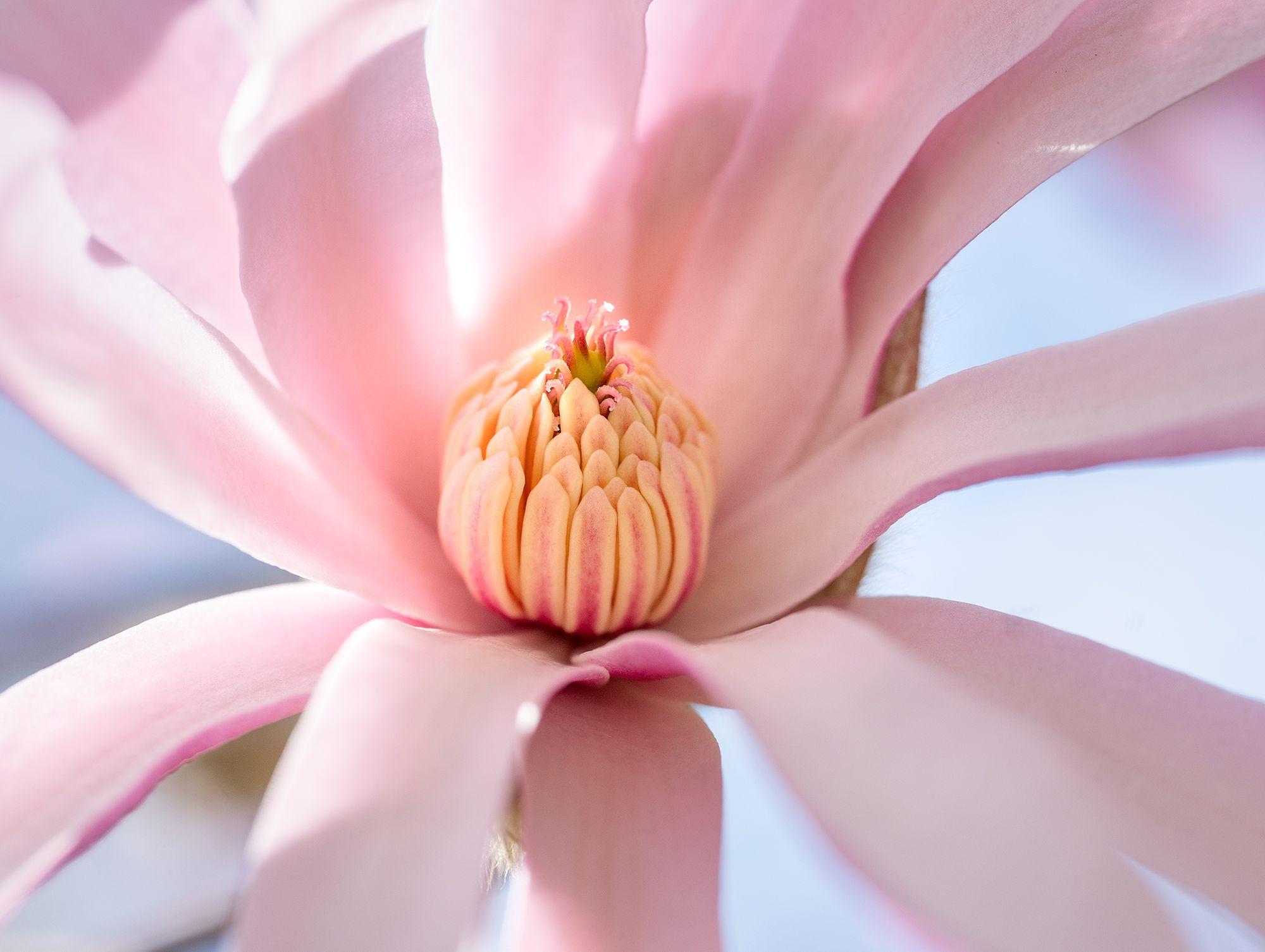 Magnolia CU-3.jpg