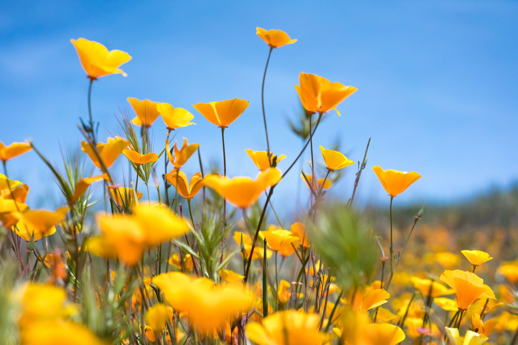 California poppies on sunny day