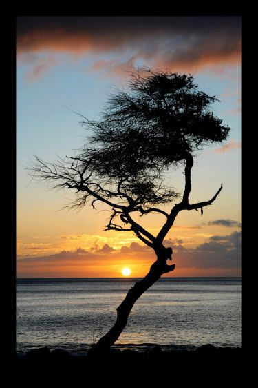 11_0_240_1hawaii_tree.jpg