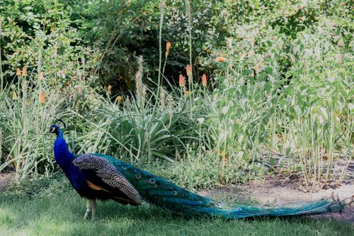 Liz_Jordan_Tracy_Aviary_Exotic_Peacock.jpg